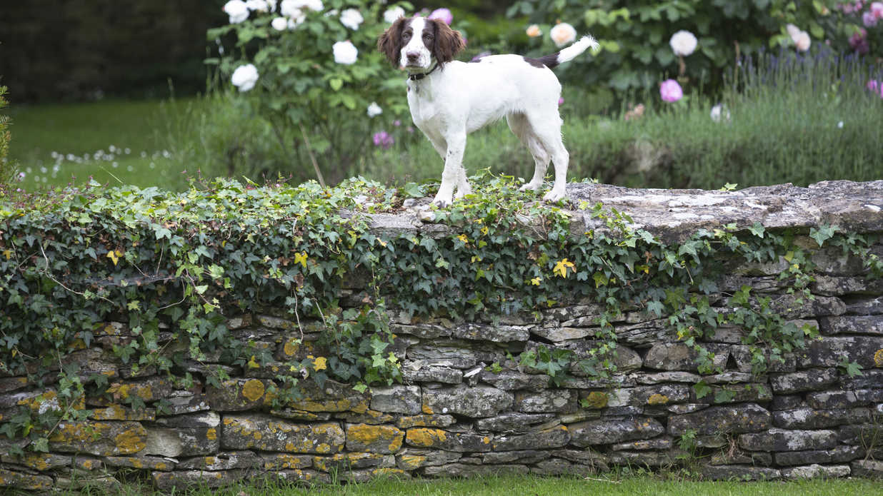 9 Things Every Springer Spaniel Owner Knows