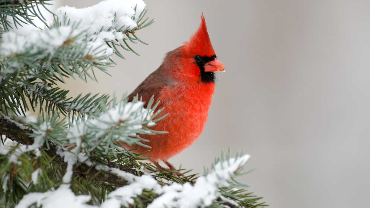 Why The Northern Cardinal is a Favorite Winter Bird ... Simple House Plans Cardinal on champion homes floor plans, shed with playhouse loft plans, bird feeder plans, cardinal cabinets, 1970s home plans, simple log home plans, winter bird boxes plans, bullet travel trailer floor plans, cardinal residence toronoto s, cardinal design, cardinal military, cardinal travel trailers, 20x30 cabin plans, cardinal wallpaper, cardinal gifts, cardinal flowers, cardinal springs guest house sperryville va, open office floor plans, cardinal signs, log cabin homes floor plans,