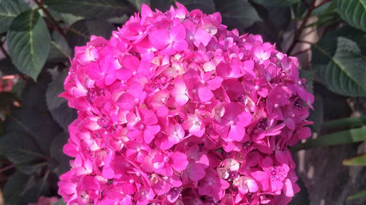 How long does it take to turn a pink hydrangea blue southern living junglespirit Choice Image