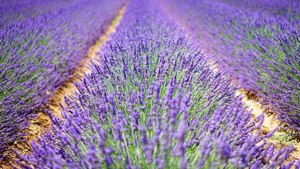 Here's Why You Should Visit Texas During Lavender Season