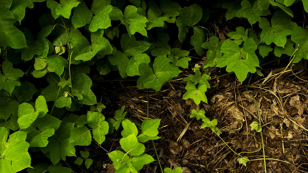 10 Plants That Will Take Over Your Yard