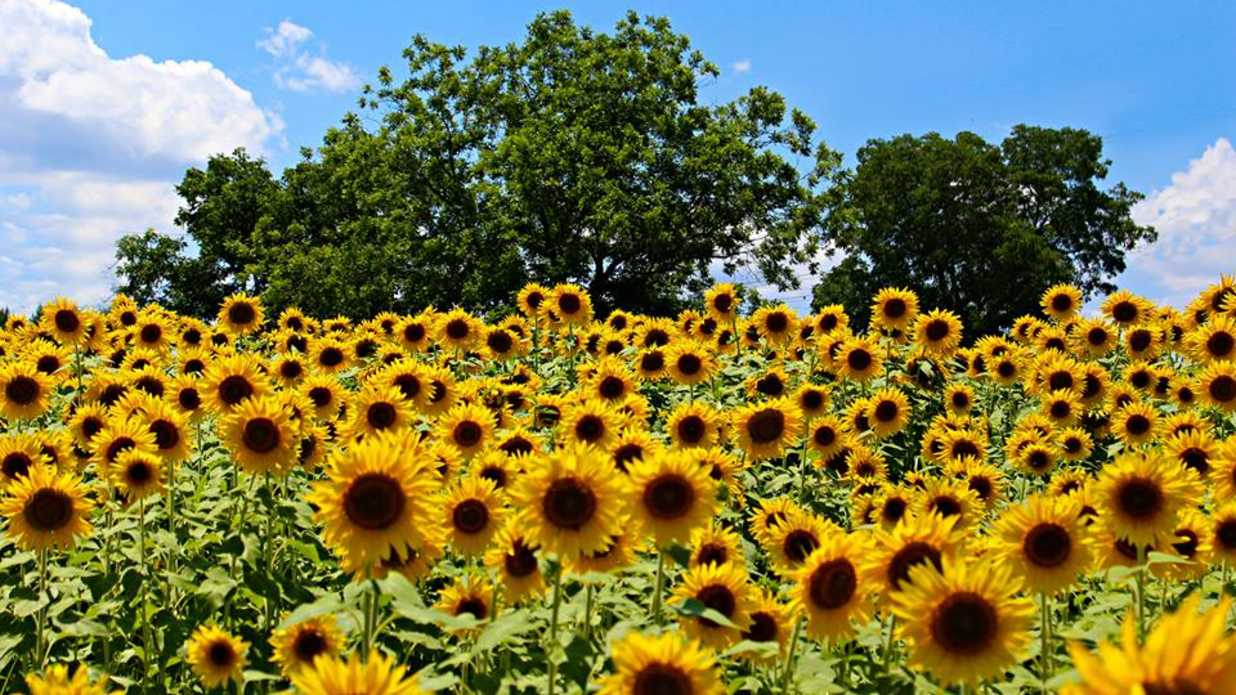 The Most Beautiful Sunflower Fields in the South