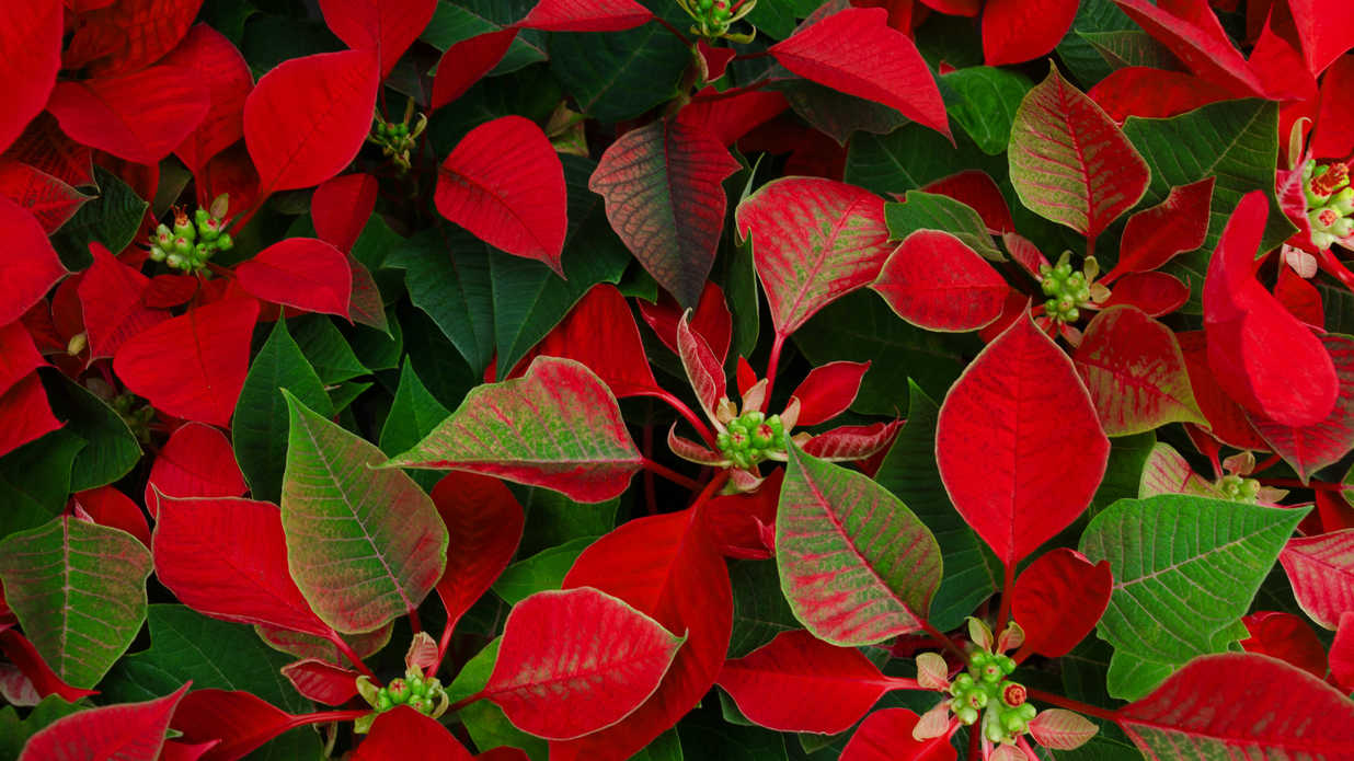 17 Best Plants and Flowers for Christmas