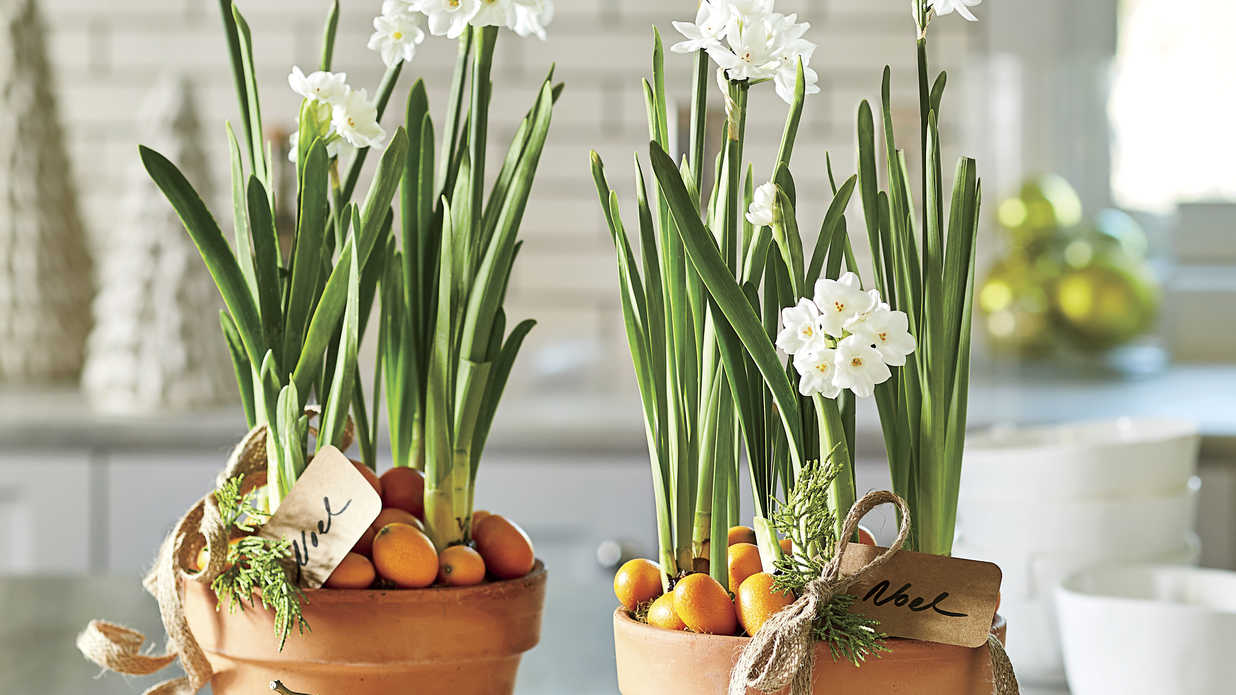 Why Paperwhites Make the Best Holiday Gifts