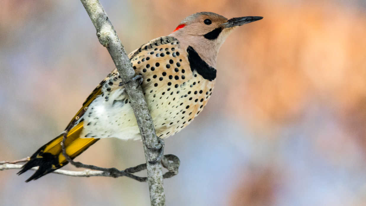 The State Birds of Every Southern State