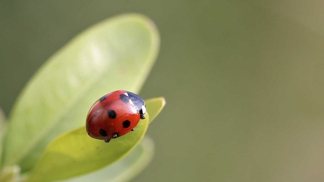 Finding Ladybugs in Your House? Here's How to Get Rid of