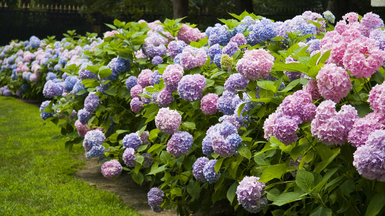 All the Types of Hydrangeas You Can Grow in the South