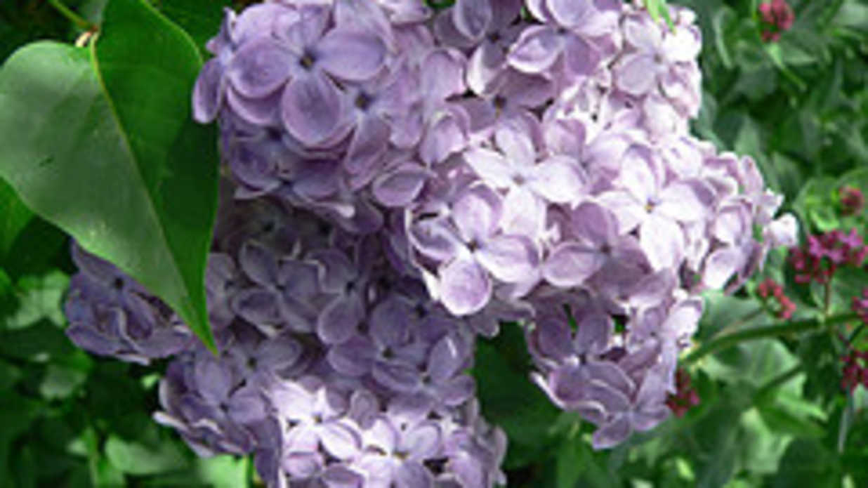 Is The South Too Hot For Lilacs Southern Living