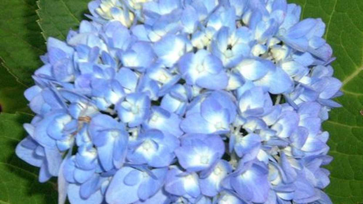 The truth about endless summer hydrangea southern living izmirmasajfo Choice Image