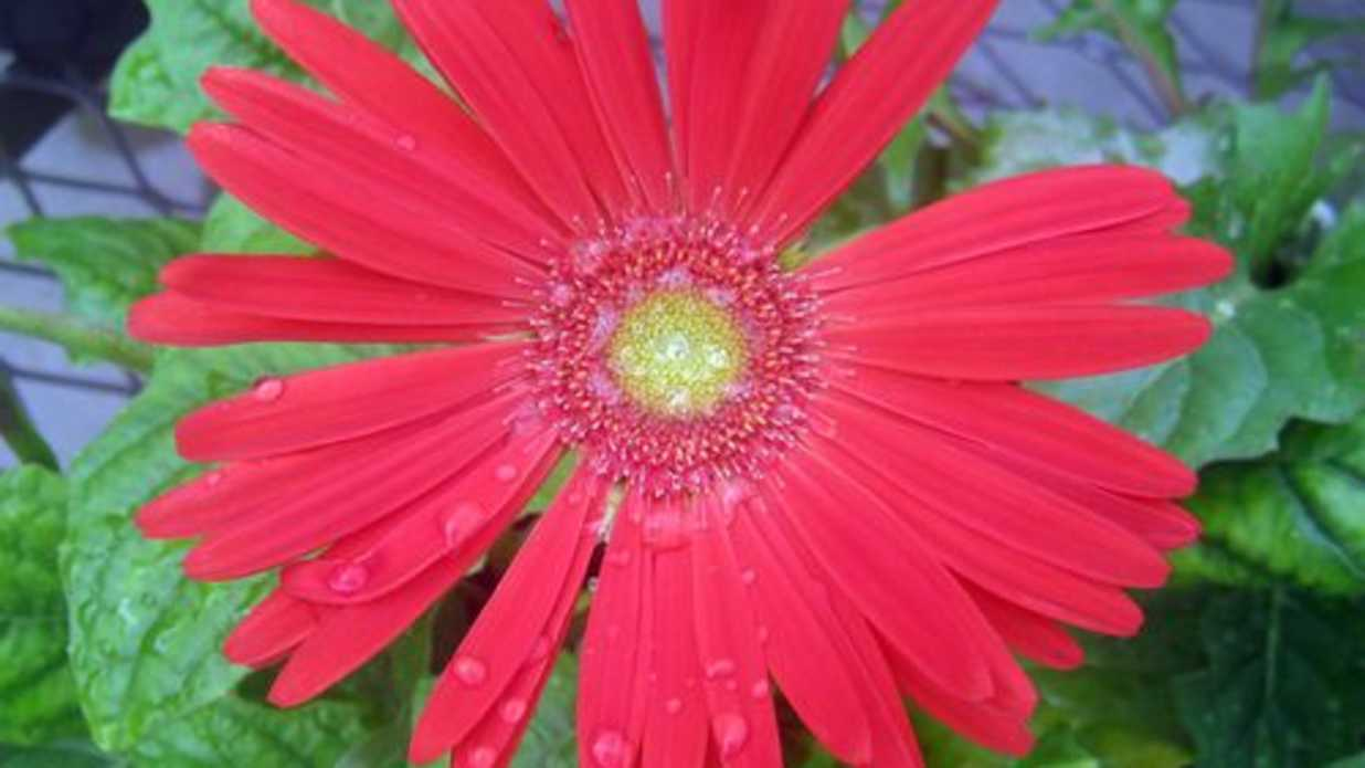 Why cant i grow gerberas southern living izmirmasajfo