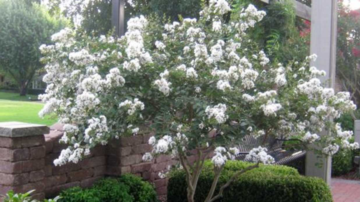 Plant A Smaller Crepe Myrtle This Year Southern Living