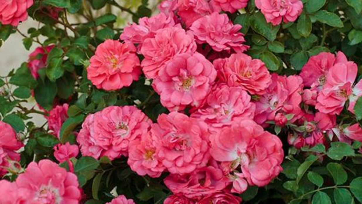 Coral Garden Rose a better rose than knock out | southern living