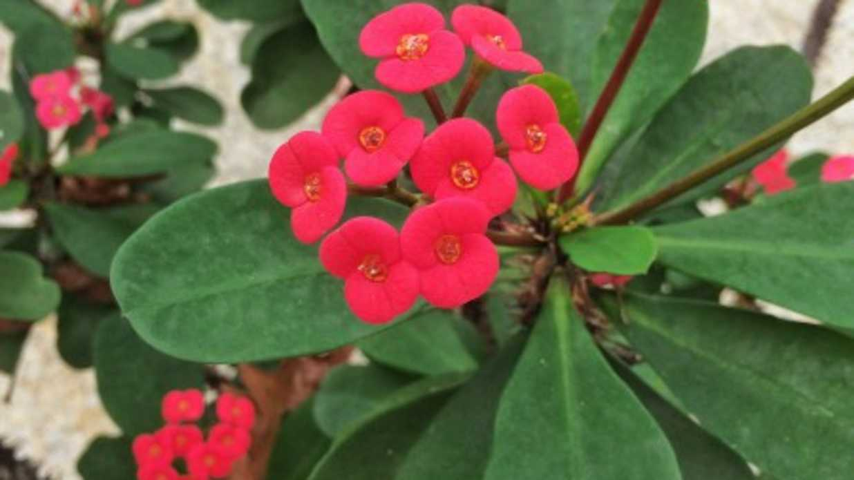 25 years of nonstop blooms thank you crown of thorns southern 25 years of nonstop blooms thank you crown of thorns southern living izmirmasajfo