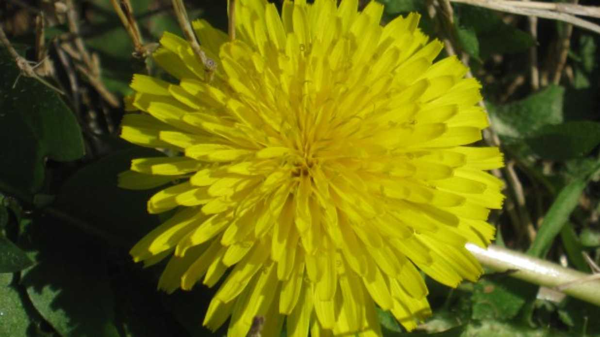 Get Healthy Eat Some Dandelions Southern Living