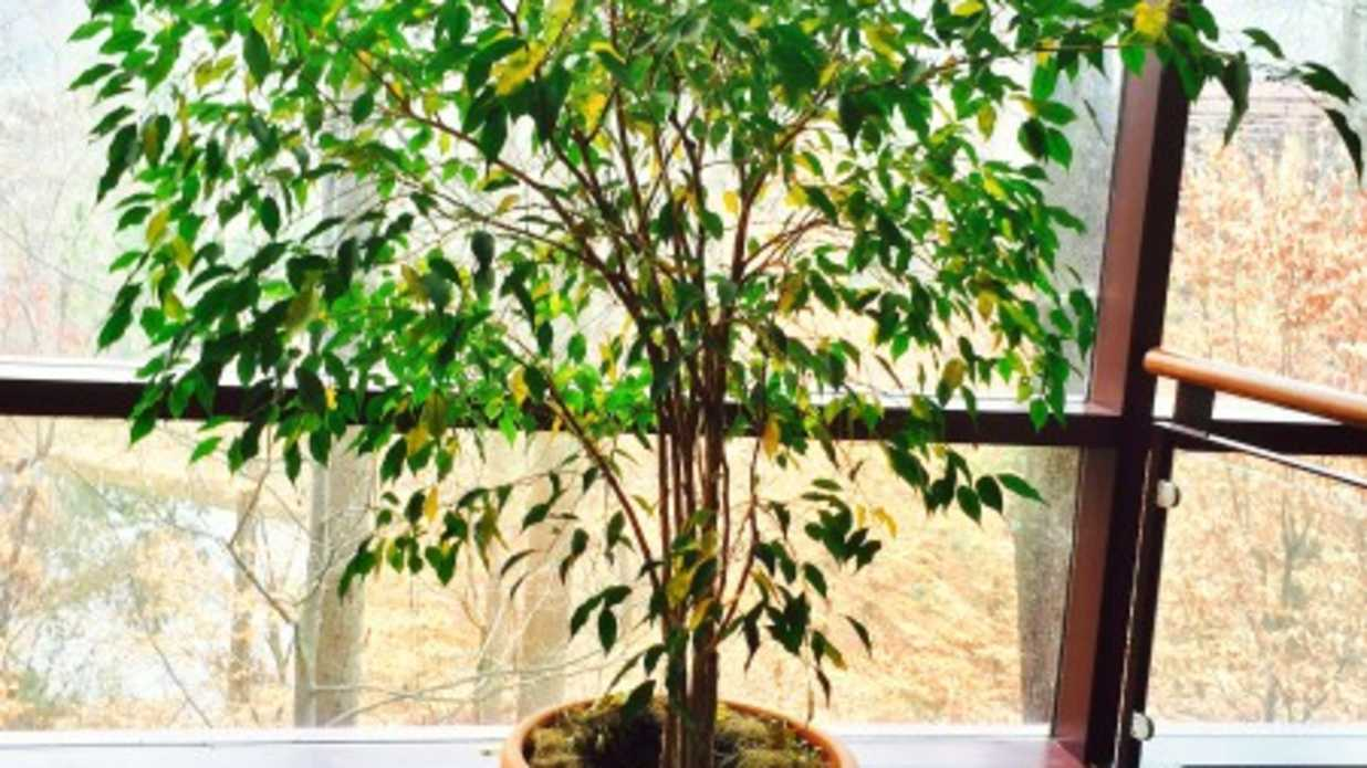 ficus-e1421492847311 House Plant Rubber Ficus Tree on pruning a ficus tree house plant, rubber plant house plant, ficus elastica rubber plant,