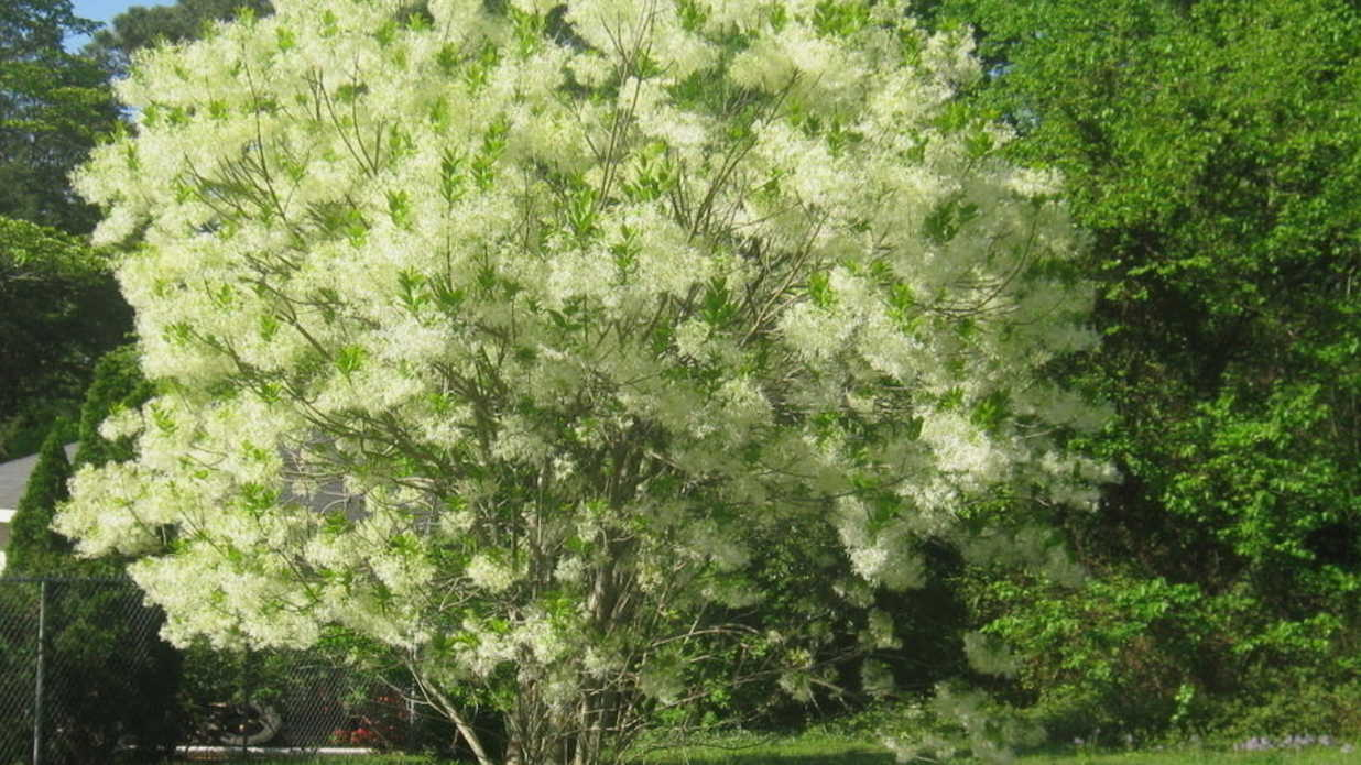 Fringe tree the best native tree nobody grows for Prettiest small trees