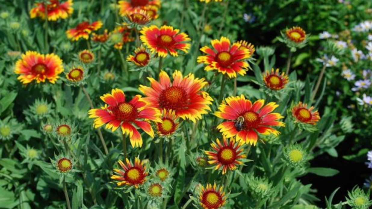 Blanket Flower Has Summer Covered Southern Living