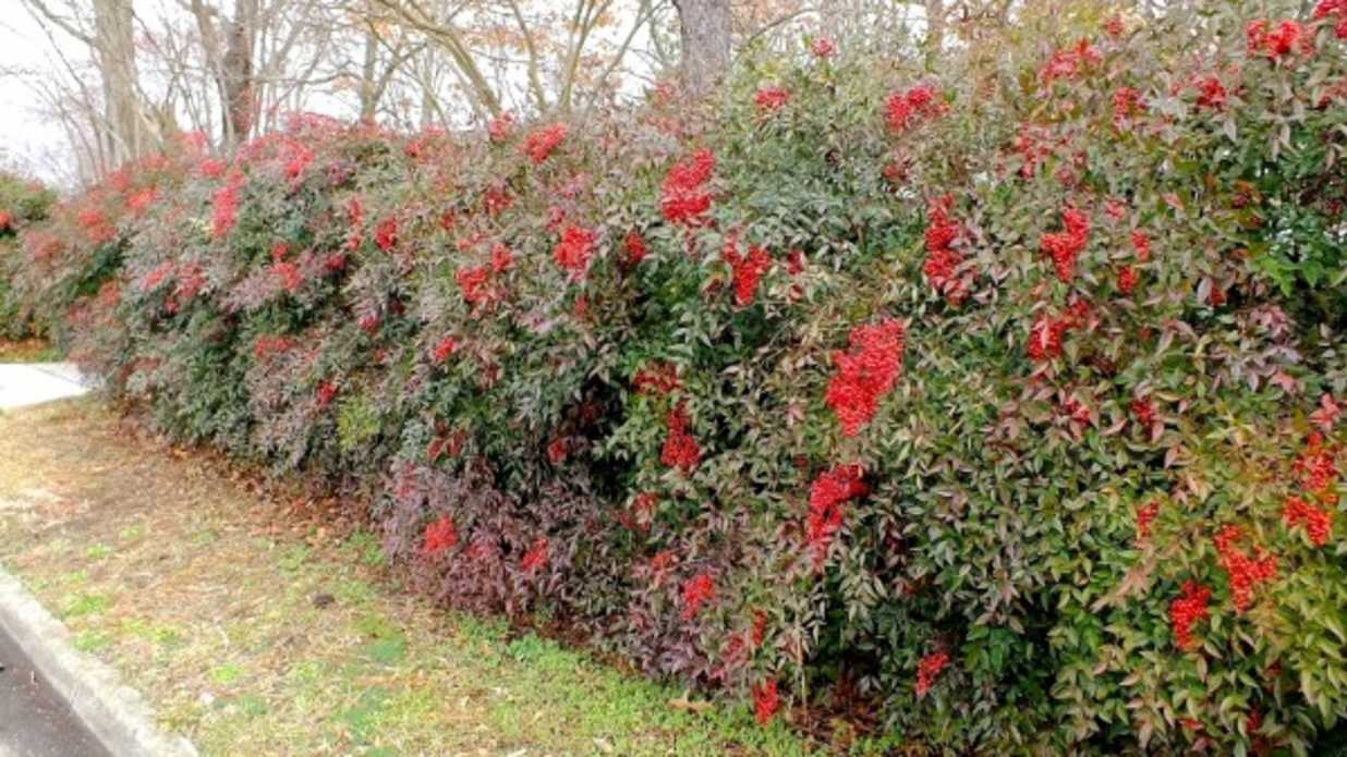 Just Try To Kill Nandina! - Southern Living