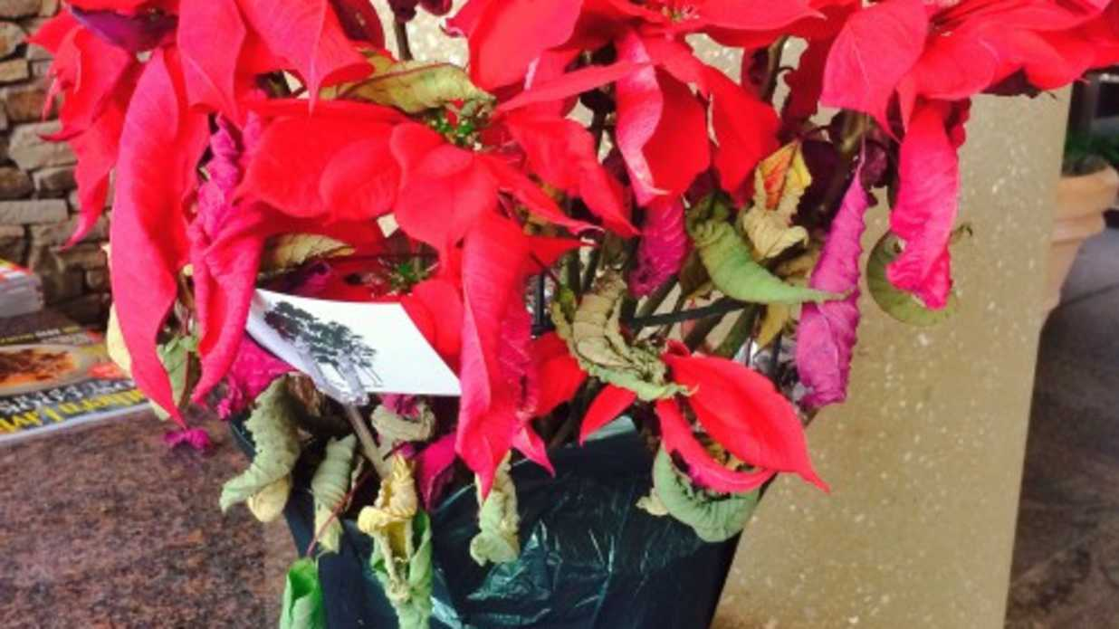 Poinsettia After Christmas -- Now What?