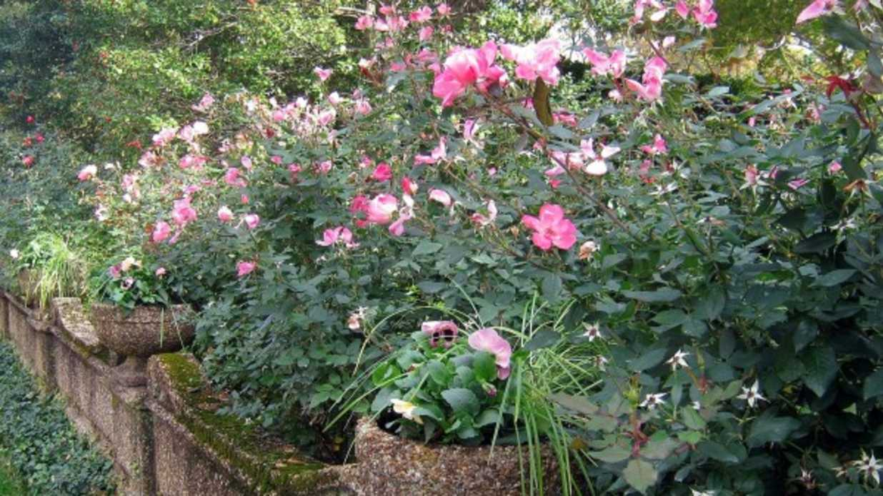 How To Prune Knock Out Rose