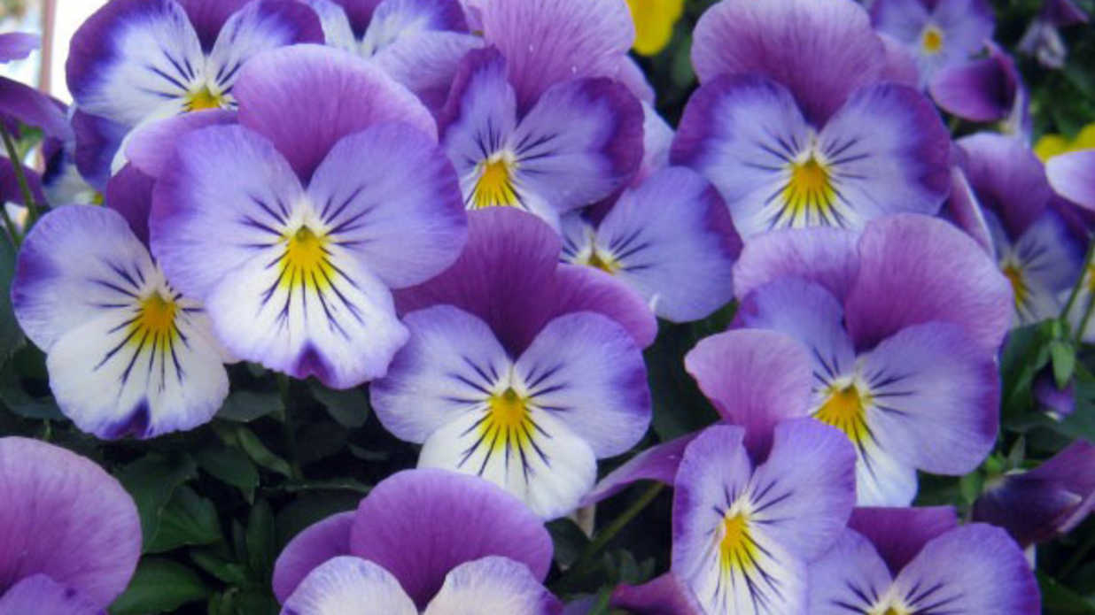 Plant These New Pansies Now Southern Living