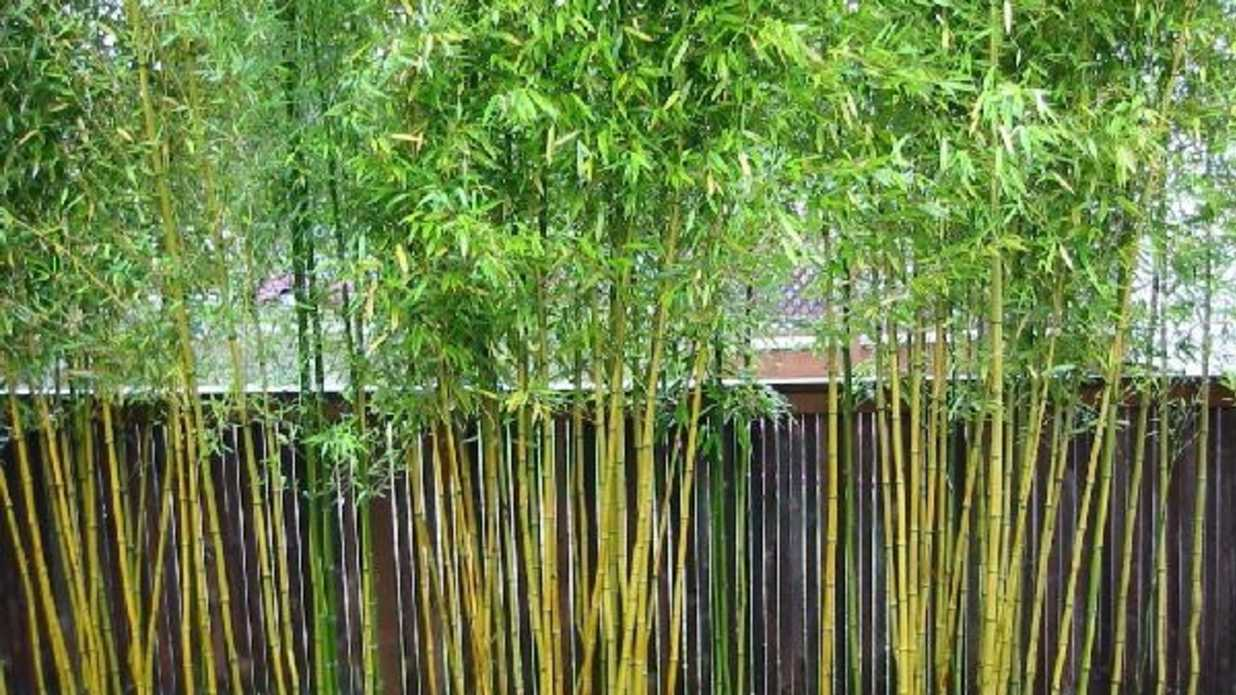 images How to Get Rid of Bamboo