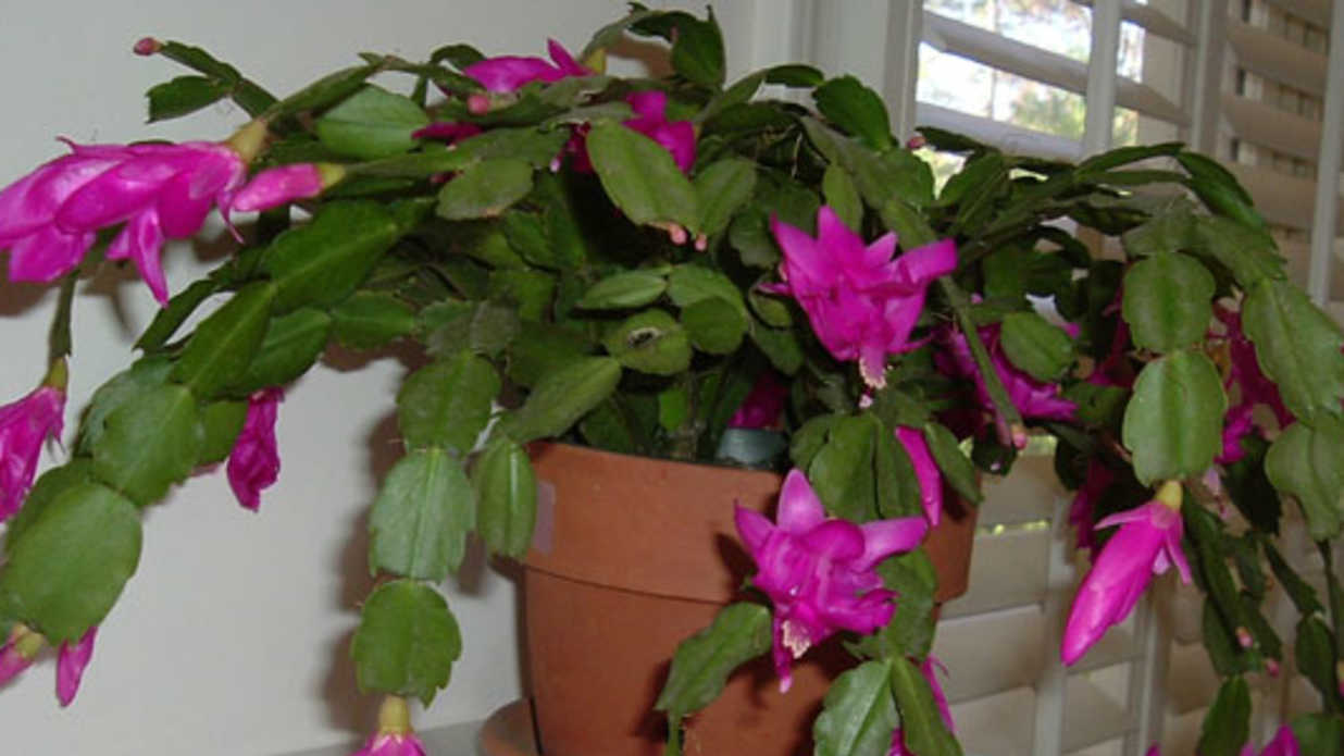 The Perfect Holiday Plant Christmas Cactus Southern Living