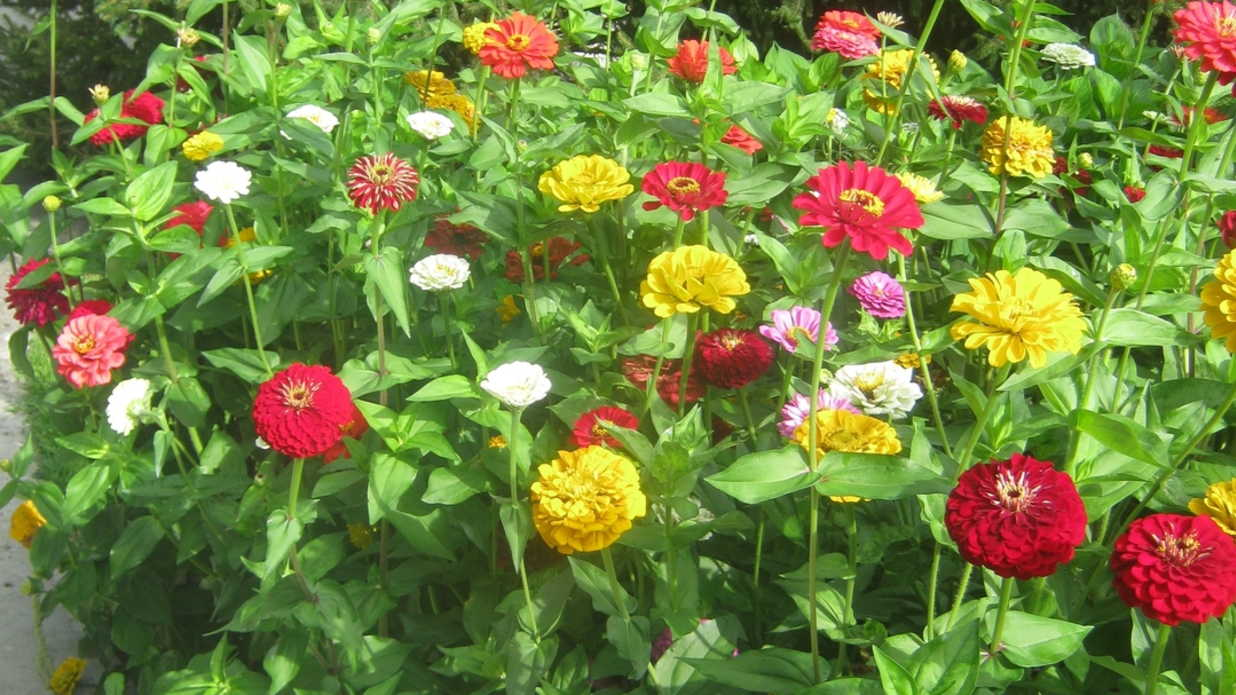 Zinnias Are So EZ - Southern Living