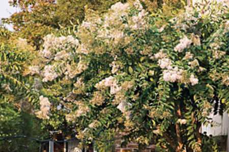 Southern Gardening: Crepe Myrtle