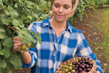 Muscadine Picking