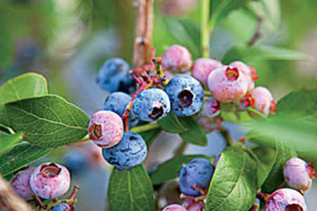 Blueberries Growing on the Branch