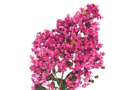 Our Favorite Crepe Myrtles: Miami