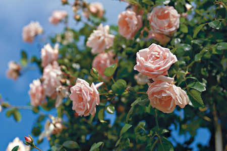 Carefree Roses