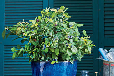 Blueberry Container