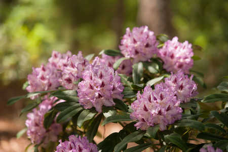 Blue Ensign Rhodedendrons