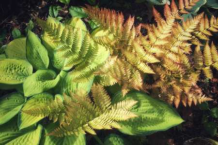 Hostas and Autumn Fern Plant Combination