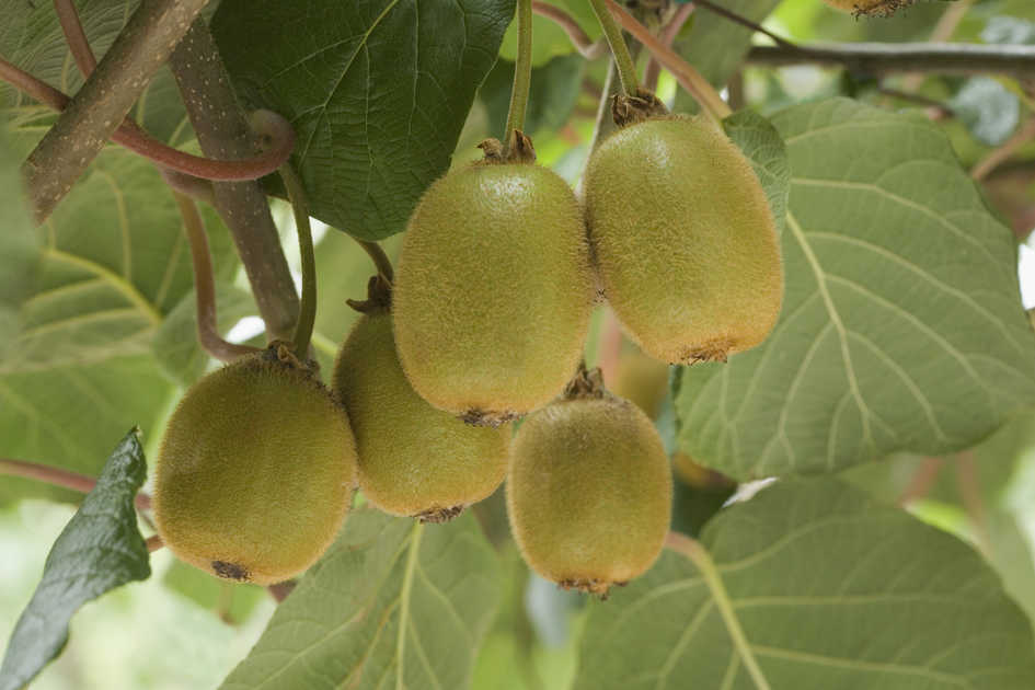 kiwi fruit plants how to grow kiwi vines actinidia southern living. Black Bedroom Furniture Sets. Home Design Ideas