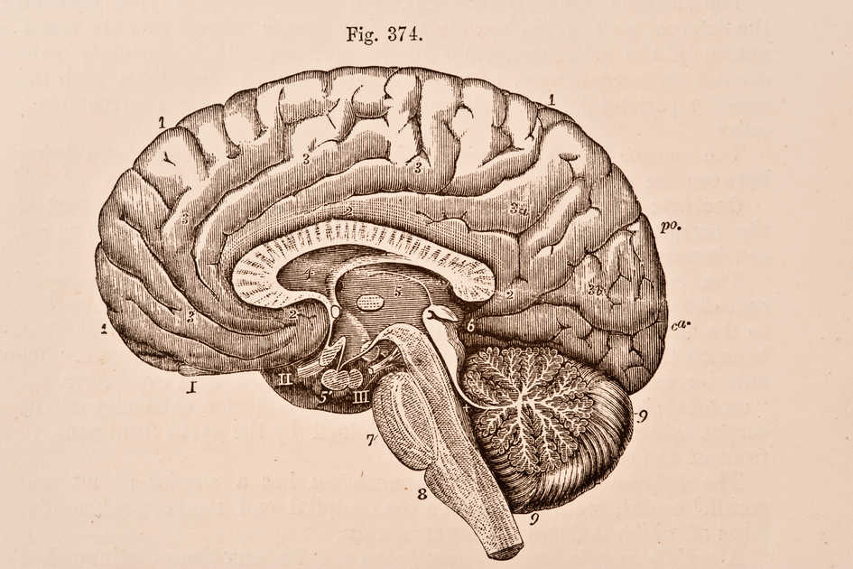A medical illustration from 'Quain's Elements of Anatomy, Eighth Edition, Vol.II' (by William Sharpey MD, LLD, FRS L&E, Allen Thomson, MD, LLD, FRS L&E, and Edward Albert Schafer) depicts the right half of the brain divided by a vertical antero-posterior