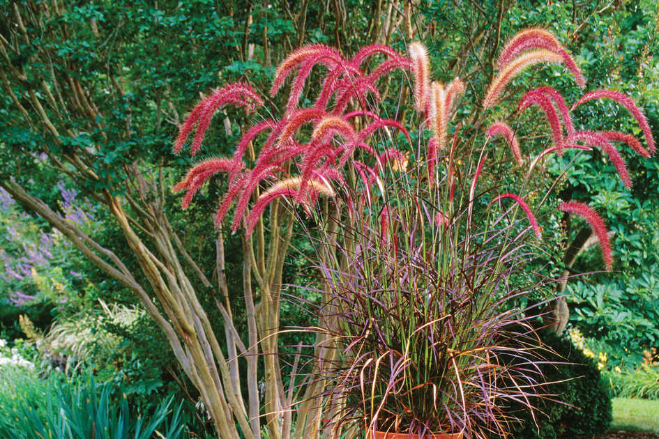 Fountain grass pennisetum southern living for Oriental grass for shade