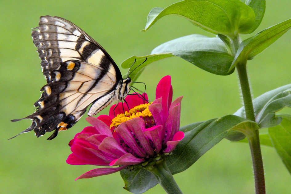 Tiger Swallowtail Butterfly on Zinnia